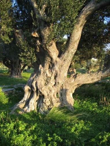 450px-Olive_tree_Karystos2